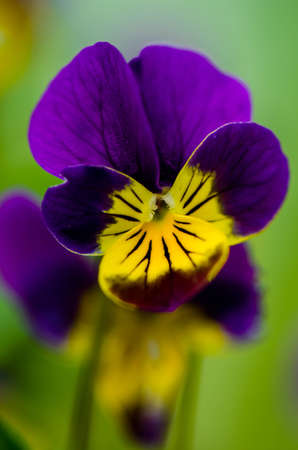 flamy: Pansy Violet FLovers Under The Spring Sun Stock Photo