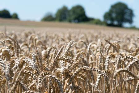 A cornfield and farm