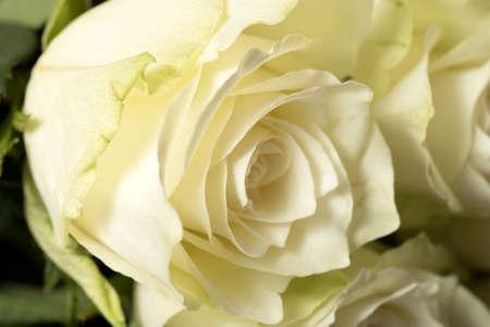 Fresh, white roses