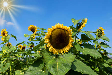 A sunflower in the meadow Stock Photo