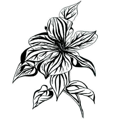 Graphic clematis flower in blossom isolated on white background. Hand drawn ink botanical black and white monochrome illustration for wedding printing products, cards, invitation.
