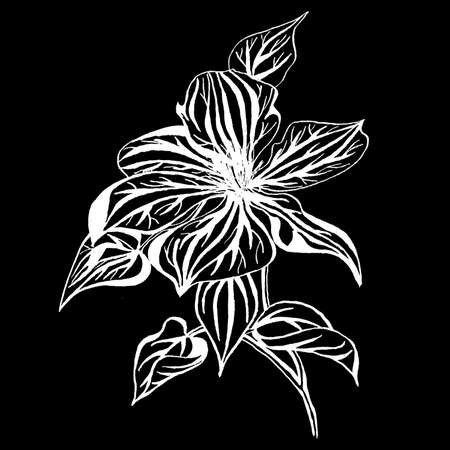 Graphic clematis flower in blossom isolated on black background. Hand drawn ink botanical black and white monochrome illustration for wedding printing products, cards, invitation. Stockfoto