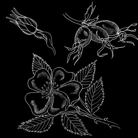 Graphic branch og eglantine rose flower with barries on white background. Black and white outline ink hand drawn illustration.