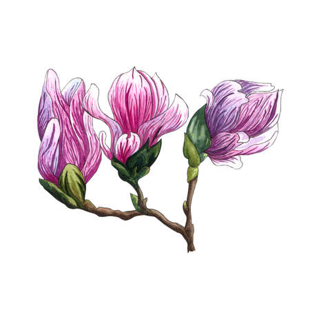 Watercolor illustration of pink Magnolia flowers. Watercolor magnolia hand drawn illustration on white background. Botanical flowers elements for your design. Magnolia Branch with flowers and leaves. Banco de Imagens