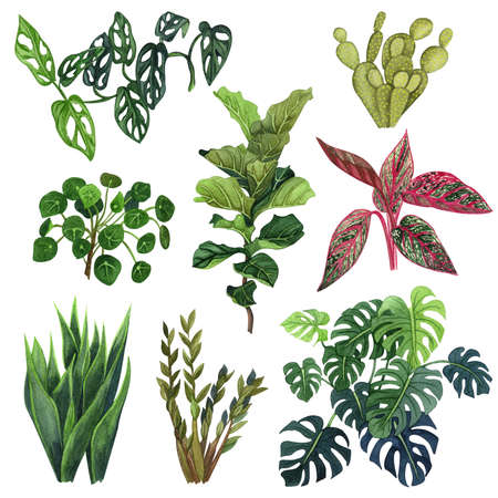 Indoor plant watercolor illustration. Home plants set, fig tree, Aglaonema Legacy, ficus, monstera, ZZ Plant (Zamioculcas),  Snake Plant (Sansevieria),  Fiddle Leaf Fig, missionary plants, cactus.