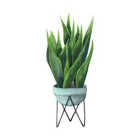 Indoor plant watercolor illustration. Home plants, Sansevieria or Snake Plant in a light blue pot.