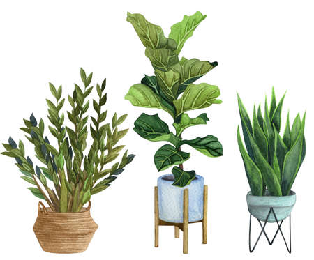Indoor plants in a pot . watercolor set. Home plants potted. Hand drawn illustration. ZZ Plant (Zamioculcas),  Snake Plant (Sansevieria),  Fiddle Leaf Fig in a pot.