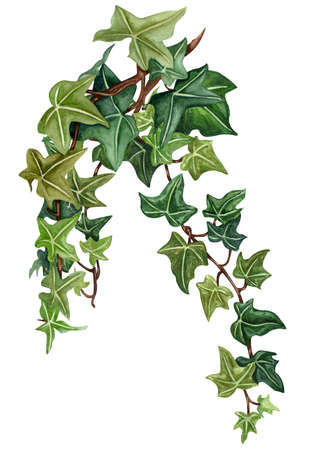 Watercolor botanical ivy illustration. Hand painted green ivy leaves, white background.