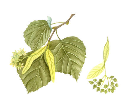 Watercolor blossoming linden twig with leaves, flowers and seeds. Hand painted floral illustration isolated on white background. Honey herb.