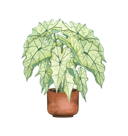 White Caladiuma, houseplant in the pot, isolated on white background. Watercolor potted plant illustration. Home decor.
