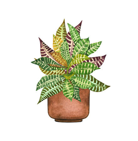 Croton plant, houseplant in the pot, isolated on white background. Watercolor potted plant illustration. Home decor