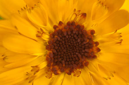 yellow stamens: yellow stamens and petals of a daisy close up