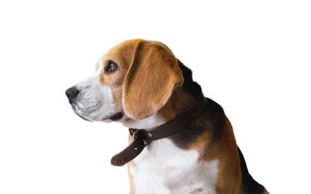 chien: Beagle dog portrait isolated on white background