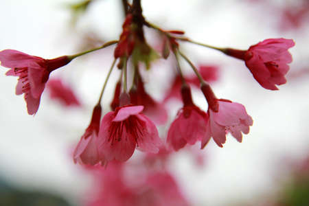 Cherry blossoms in spring photo