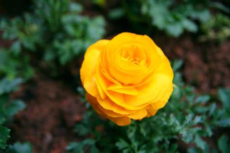 Buttercup Flower Stock Photo - 16531002