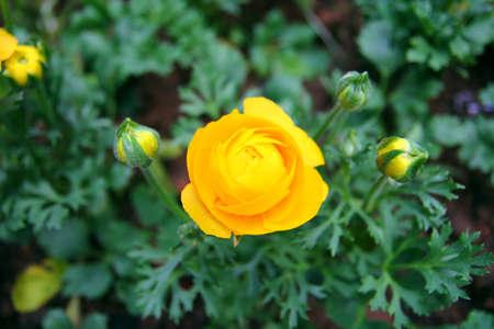 Buttercup Flower Stock Photo - 16531010
