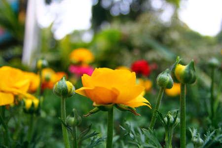 buttercup flower: Buttercup Flower