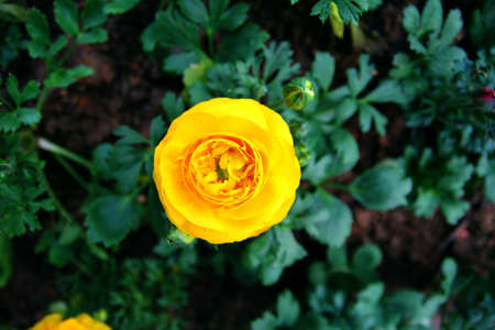 Buttercup Flower Stock Photo - 16530999
