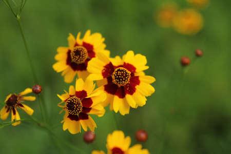 tickseed: Calliopsis