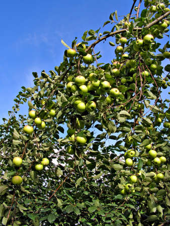 eacute: mela sul ramo degli alberi aple