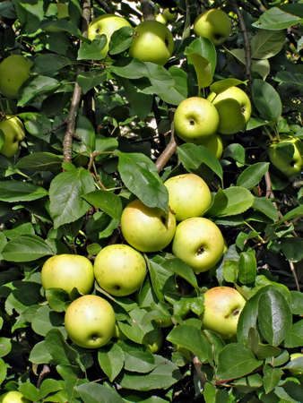 apple on branch of the aple trees    photo