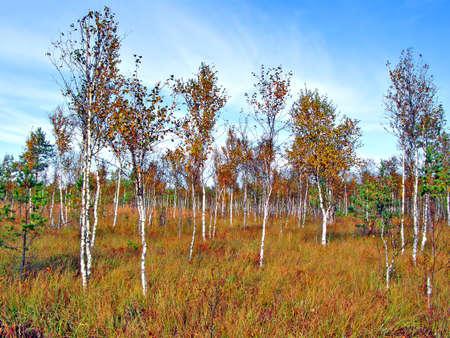 sickly birches in marsh    photo