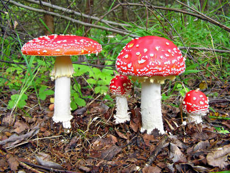 amanita: ����� agarics     Stock Photo