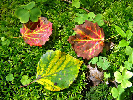 blushing: Yellow and blushing autumn sheets fell on marsh moss