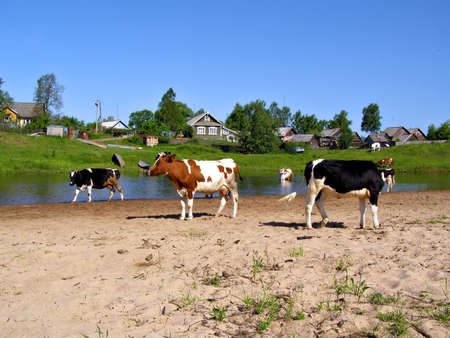 cows near river  photo
