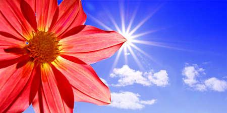 dahlia on background sun photo