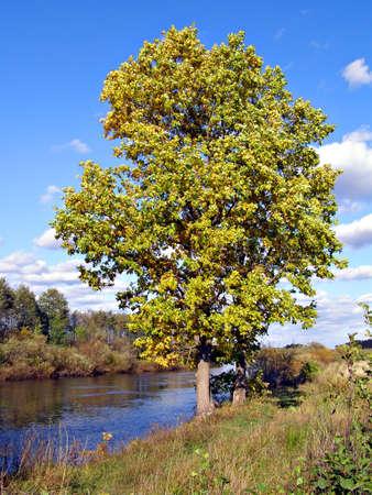 big oak near river       photo