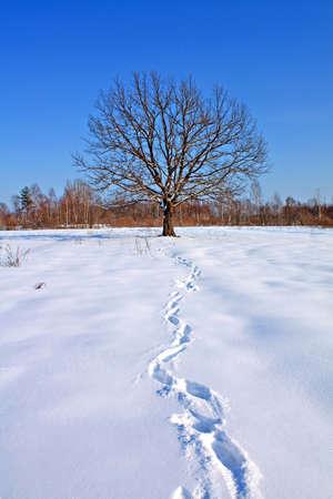 trace on snow near oak photo