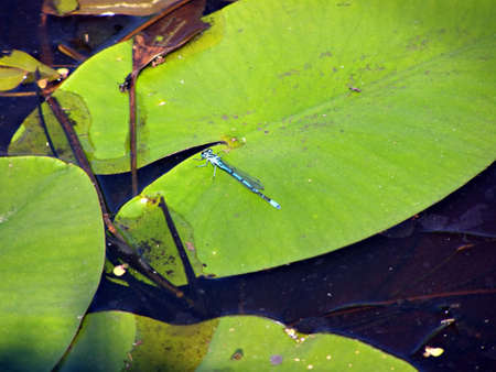 dragonfly on sheet of the water lily photo