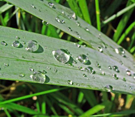 dripped: dripped rain on herb