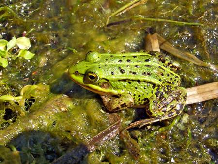frog in marsh photo