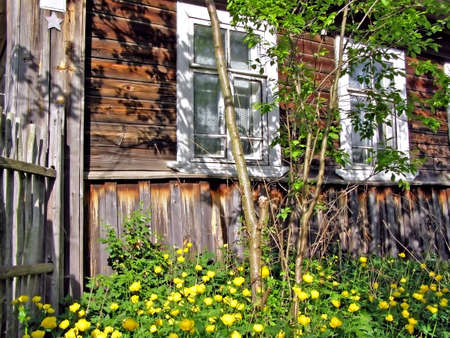 yellow flowerses under wall of the old wooden building    photo