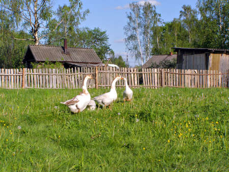 geese on meadow near fence     photo