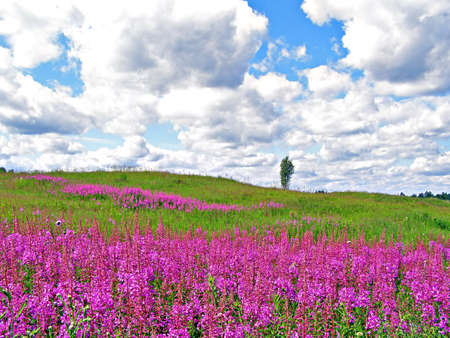 lilac flowers on field    photo