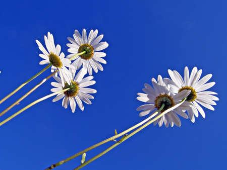 daisywheel: flowerses of the daisywheel on turn blue background   Stock Photo