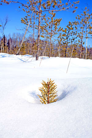small pine in snow photo