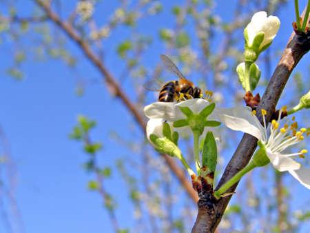 bee on flowerses plum   photo