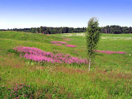 lila Blumen auf Feld   Lizenzfreie Bilder - 6002163