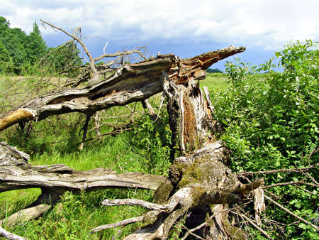 old tumbled oak     photo