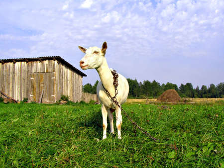 hircus: nanny goat