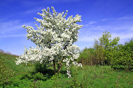 wild aple tree photo
