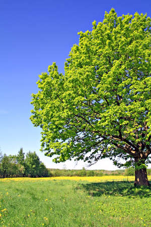 oak on field Stock Photo - 6031326