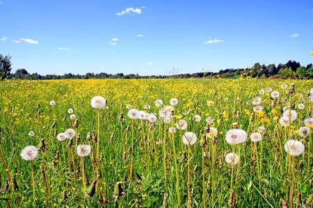 dandelions on field Stock Photo - 6020916