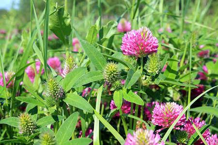 dutch clover: dutch clover on meadow Stock Photo