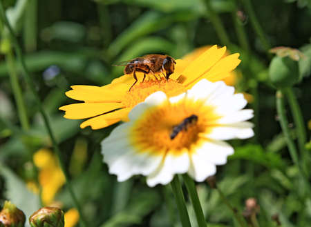 insect on chrysanthemum photo