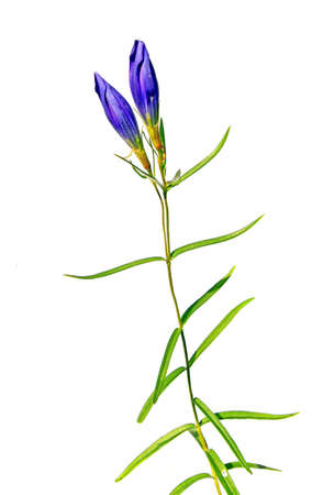 blue field flower photo